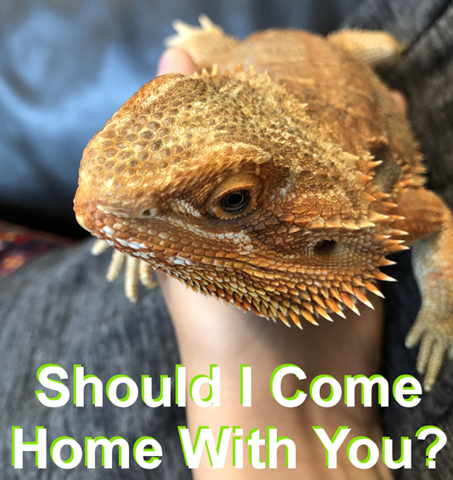 6 Tips When Considering a Lizard for a Pet